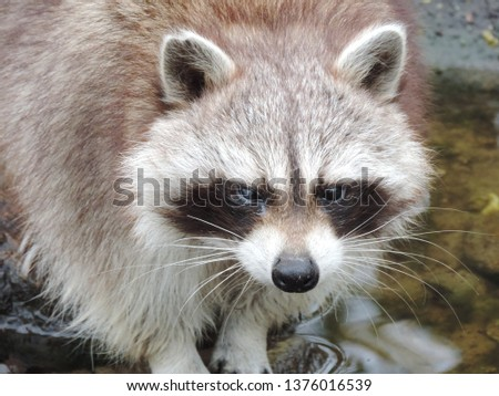 Picture of a racoon. This friendly racoon welcomes you!