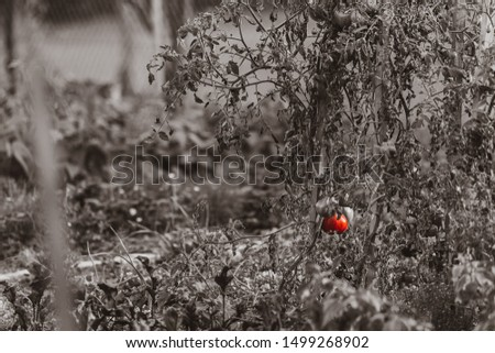 Picture of a ripe tomato in a rural garden ,at my grandmas house. Nothing like homegrown vegetables.