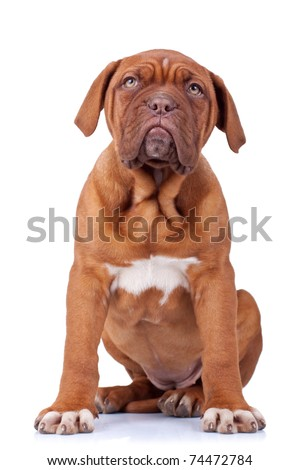 picture of a seated french mastiff puppy(dogue bordeaux) on white