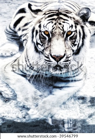 Picture of a silver tiger
