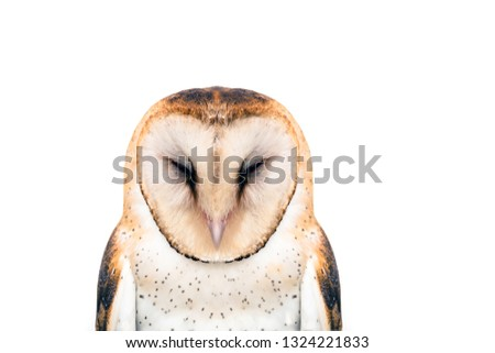 picture of a sleeping owl. Owl on white background.