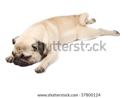 picture of a sleepy pug standing down on white background