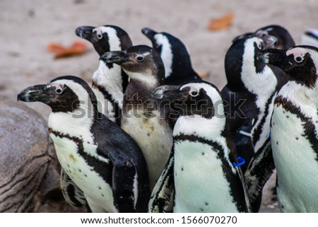 Picture of a South African penguin