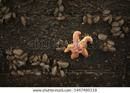 Picture of a starfish taken in Greenock harbour in Scotland.