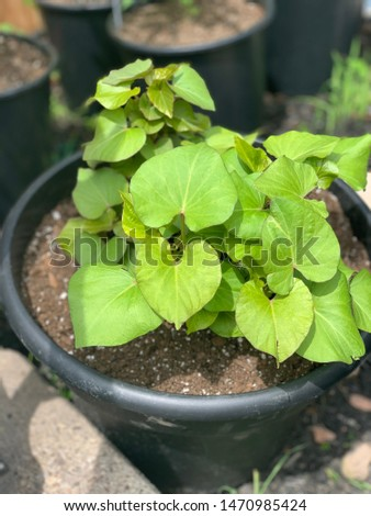 Picture of a sweet potato plant