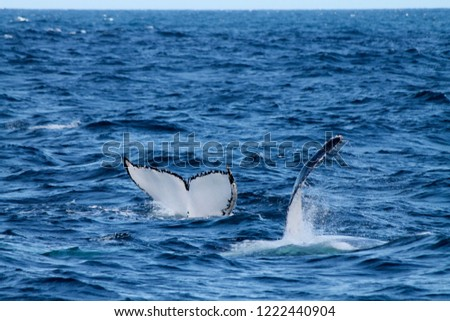 Picture of a tail and a pectoral fin of 2 whales off sydney