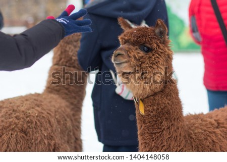 Picture of a tourist waving hand to a brown Alpaca