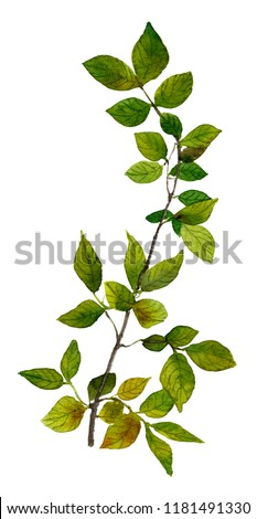 Picture of a tree branchlet with green leaves hand painted in watercolor on the white background