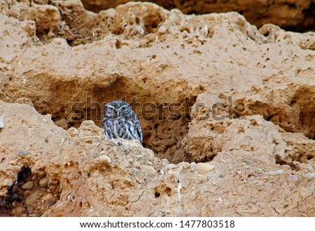 Picture of a wild little owl (Athene noctua) with yellow eyes posing on its natural habitat, rocks with big holes to make the nest. Owl and enviroment.