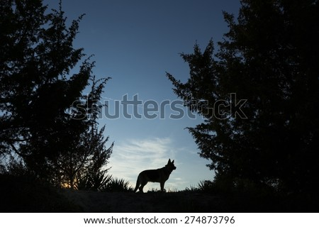 Picture of a wolf dog at dusk.