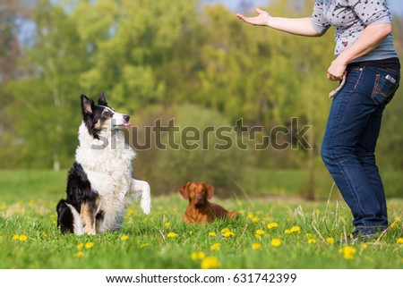 picture of a woman training with a Border Collie outdoors