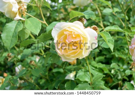 Picture of a yellow rose at Rose Hill in Manito Park, Spokane Washington
