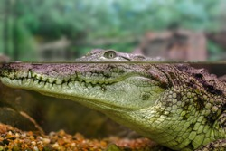 picture of a young crocodile staring out of the water