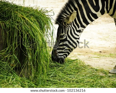 Pictures Zebras Picture of a Zebra Eating
