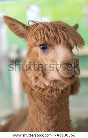 picture of alpaca