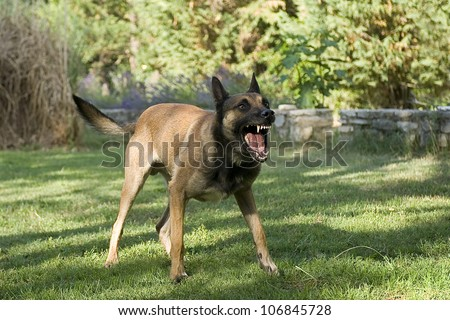 picture of an aggressive purebred belgian sheepdog malinois