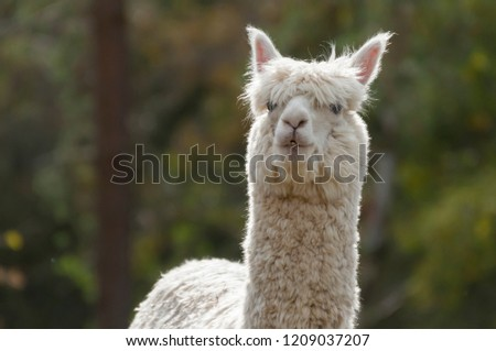 Picture of an alpaca in the zoo