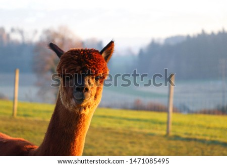 Picture of an Alpaca on a farm in Switzerland