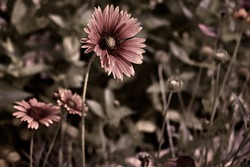 Picture of an Indian blanket flower with sepia effects