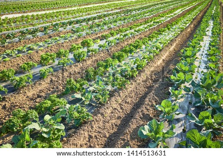 Picture of an organic farm field with patches covered with plastic mulch used to suppress weeds and conserve water.