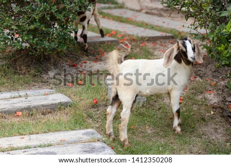 Picture of Baby Female Boer Goat standing on the lawn. This goat is a meat breed.