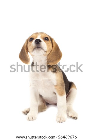 Picture of Beagle puppy looking to the top