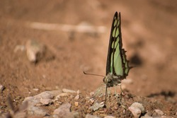 picture of beautiful  amazing butterfly  Mudpuddling. glassy blue bottle butterfly ( graphium colanthus )