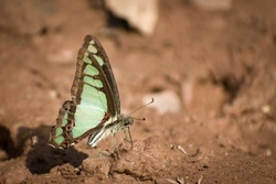 picture of beautiful butterfly mudpuddling. glassy blue bottle ( graphium colanthus )