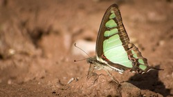 Picture of beautiful butterfly sitting on ground. glassy blue bottle ( graphium colanthus )