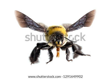 picture of bees on white background, bee on backs flying and other details, macro photography of insects #1291649902