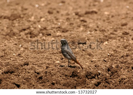 Picture of black redstart (Phoenicurus ochruros latin).
