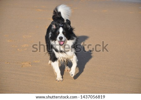 picture of border collie on beach looking excited