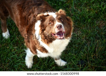 Picture of Border collie playing in the garden