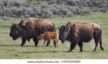 Picture of Buffalo Family in Yellowstone National Park.