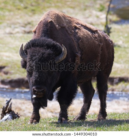 Picture of buffalo in Yellowstone National Park.
