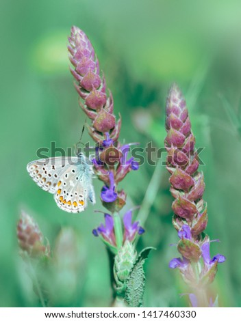 Picture of butterfly on the flower. Long spikes of purplish blue flowers of Meadow Clary, Salvia pratensis. Good honey plant and common blue butterfly on a blured wild meadow background at morning.