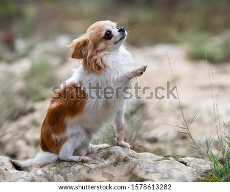 picture of chihuahua dog in the nature, in autumn