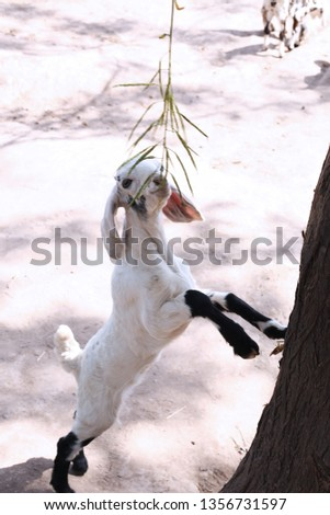 Picture of child goat is eating grass.