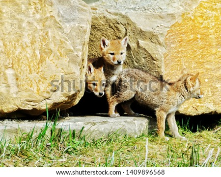 Picture of 3 coyote pups coming out of their den in the city of Calgary, Alberta, Canada.