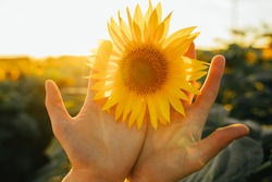 Picture of female's hands holding yellow sunflower blossom with two hands. Sun shines bright in sky. Standing alone among amazing sunflower field. Harvest time