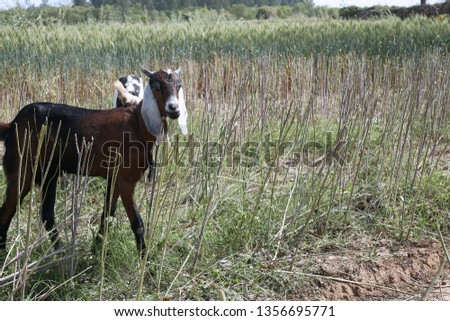Picture of goat in the farm.
