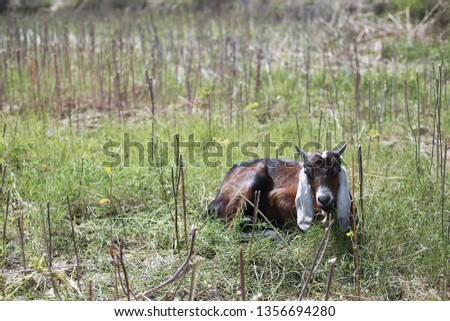 Picture of goat in the sitting on the grass.