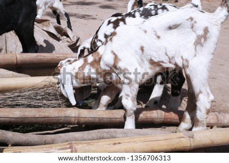 Picture of goat is eating dry grass.