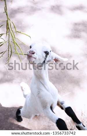 Picture of goat is eating grass.