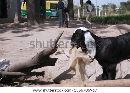 Picture of goat is holding cloth in mouth.
