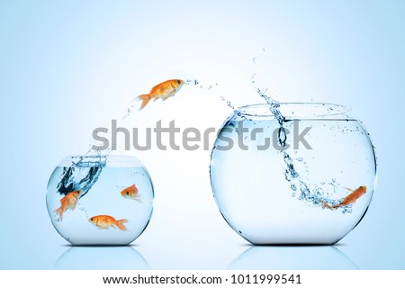 Picture of golden fish moving to better place in the larger aquarium