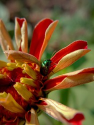 picture of green doc beetle ( gastrophysa viridula ) on profusion red zinnia.