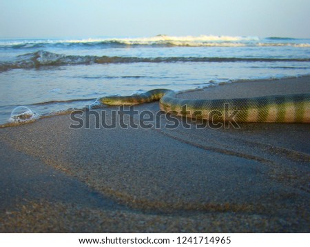 picture of green snake. Green sea poisonous snake crawling into the water