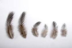 Picture of guinea`s feather isolated on white background, usually used for craft