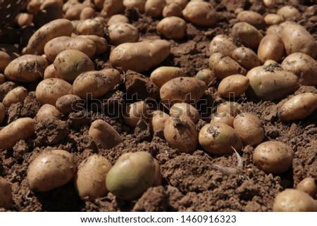 Picture of harvesting potatoes - Organic potatoees